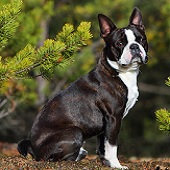 Kleine Hunderasse Boston Terrier