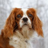 Kleine Hunderasse English Toy Spaniel