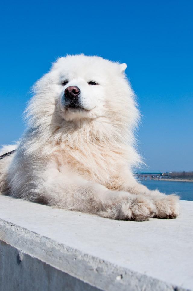 Amerikanischer Eskimo-Hund - allekleinehunderassen.de