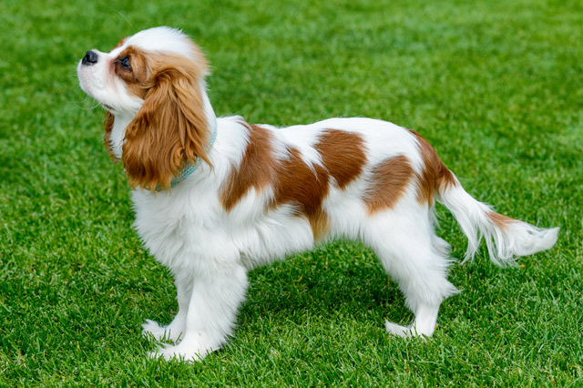 Dog Breeds That Are Rare In The Usa