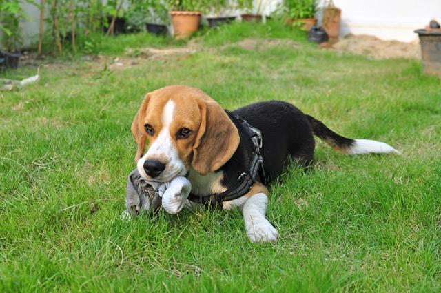 Beagle Allekleinehunderassende