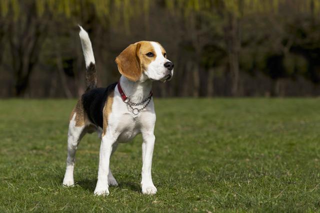 Beagle - allekleinehun...