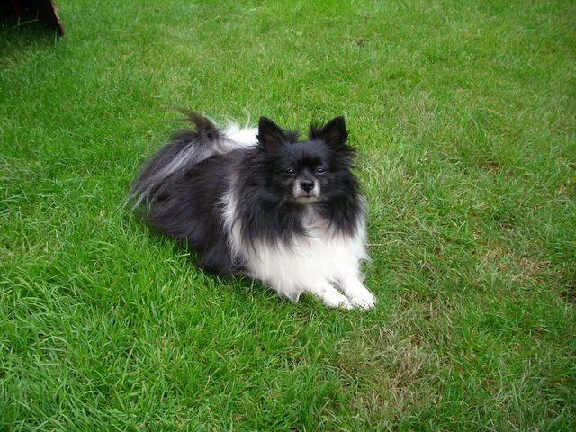 Pomeranian 101