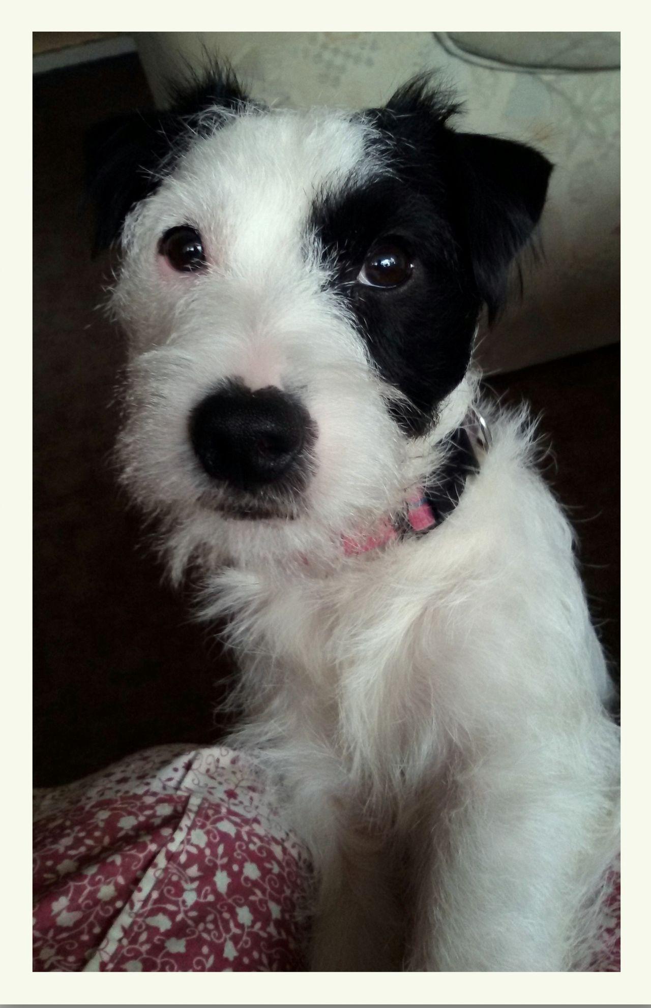 Parson Russell Terrier - allekleinehunderassen.de | 1280 x 1983 jpeg 209kB