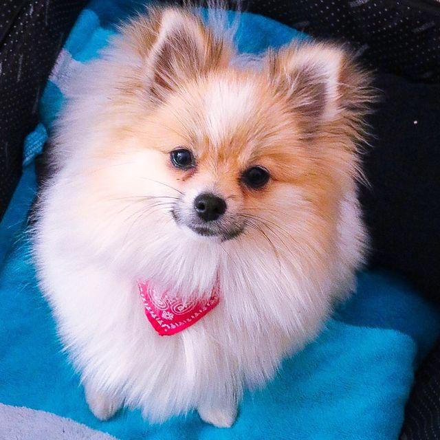 Pomeranian Alles über Den Pomeranian Zwergspitz