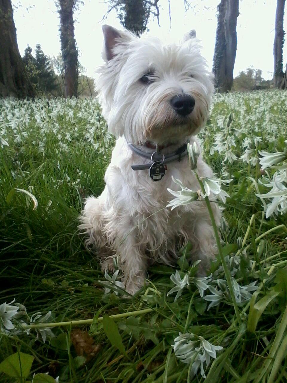 West Highland White Terrier Allekleinehunderassen De