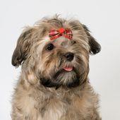 Kleine Hunderassen Die Nicht Haaren Allekleinehunderassende